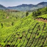 Piantagioni di tè nei dintorni di Munnar