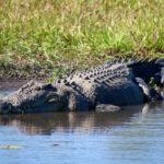 Coccodrillo nel parco nazionale del Kakadu