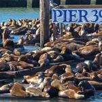Otarie al Pier 39 di San Francisco