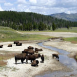 Bisonti al parco di Yellowstone