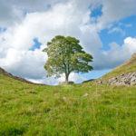 L'albero di Robin Hood lungo il Vallo di Adriano