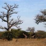 Giraffe nella riserva di Bandia