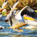 Pellicani al Djoudj Birds Park