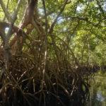 Mangrovie al delta del Saloum