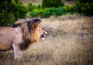 Safari Notturno Nel Parco Kruger.jpg