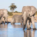 Il parco Chobe ha un'elevata concentrazione di elefanti