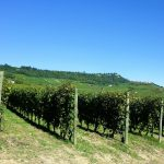 Vigne di pregiato vino barolo