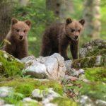 Cuccioli di orso